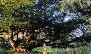 Yews in churchyards may point to pre-Christian beliefs in the sacred.