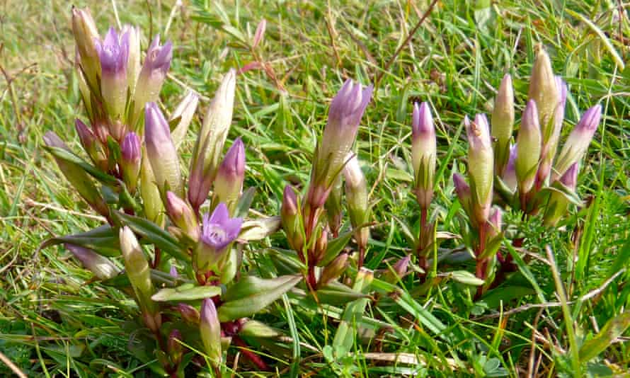 Autumn gentians rise above the cropped turf at Wenlock Edge.