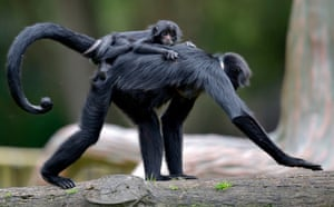 Bogotá, Colombia: A spider monkey carries its baby at Bioparque Wakatá