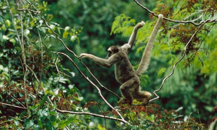 A northern muriqui (<em>Brachyteles hypoxanthus</em>) climbing in canopy. It's a critically endangered species and the largest new world monkey in the Atlantic forest, Minas Gerais, in Brazil.