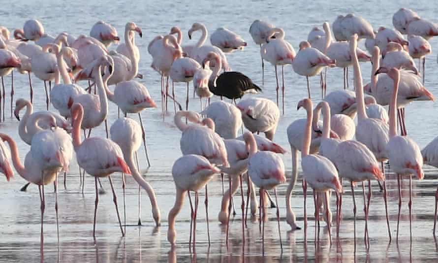 Flamingos in the Larnaca Salt Lake