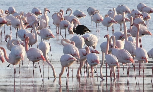 Cyprus urged to ban hunting at coast to protect flamingoes from shotgun pellets