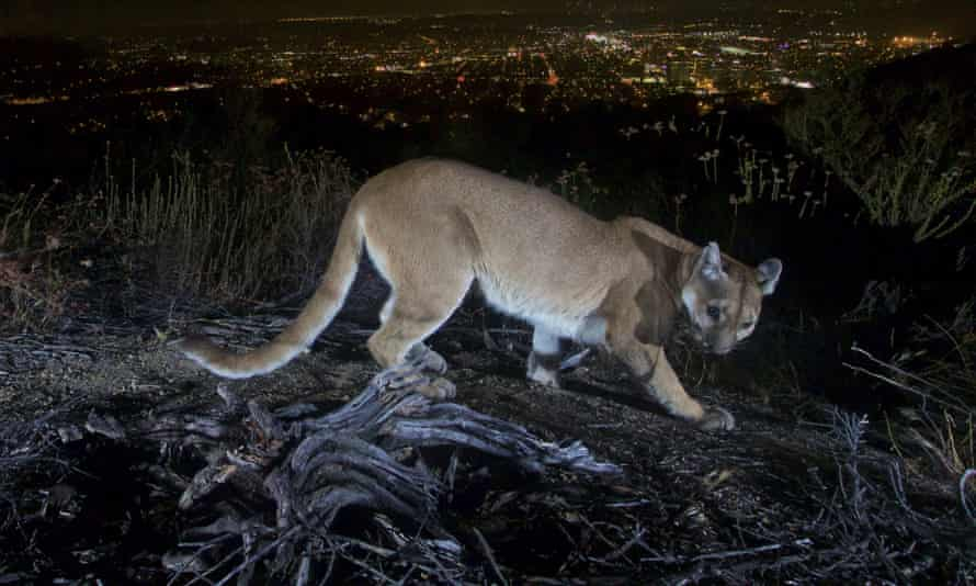 A mountain lion pictured in the Verdugos Mountains near Los Angeles