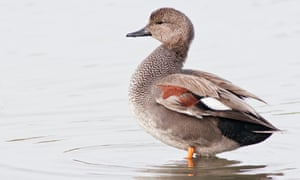Horizontal portrait of gadwall (Anas strepera). Adult male resting in a lake.
