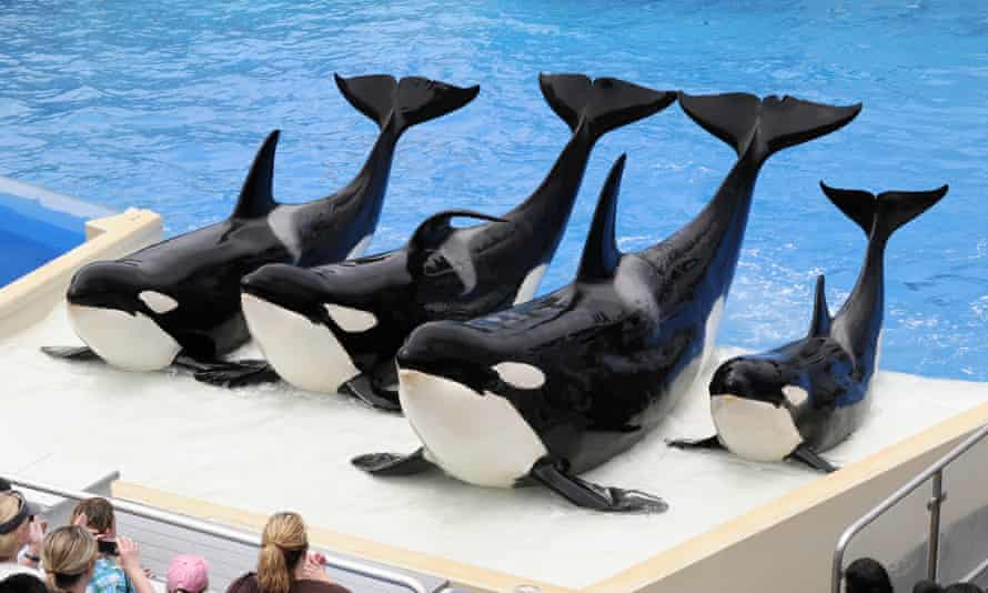 Trained killer whales at SeaWorld in San Diego, California.