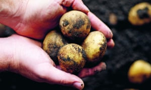 Hands harvesting home grown potatoes from the soil