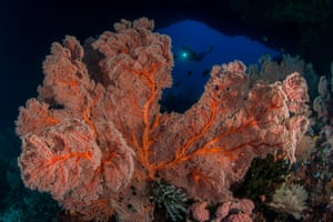 Bargibant's and Denise's pygmy seahorses live exclusively on the surface of gorgonian seafans, corals that can get as large as a car's windscreen