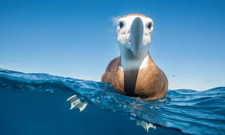 Brown headed albatross, North Island, New Zealand