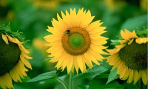 Bees on sunflower plant, Loire Valley, France.