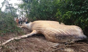 Disconcerting out-of-placeness ... the humpback whale in the Amazon rainforest.