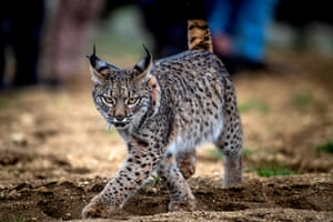 An Iberian lynx runs free after its release in the Mountains of Toledo, Spain
