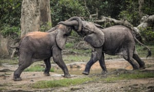 A pair of wild forest elephants fight in Bayanga Equatorial Forest, in south-western Central African Republic