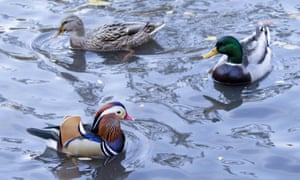 A Mandarin duck swims in a Central Park pond with more common ducks