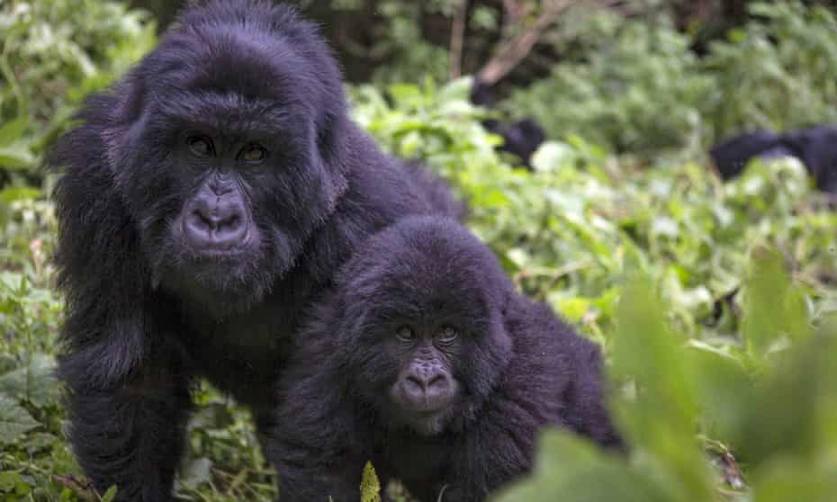 Apes are capable of having fewer children than humans, and their lifespans are shorter.