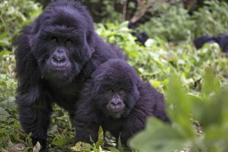 Uganda's forests hold some of the world's most endangered species, and are one of only three places in the world where mountain gorillas can still be found in the wilderness.