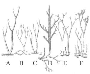 Artistic reconstruction of the Lower Devonian terrestrial plants from the Rhynie Chert. A. Rhynia gwynne-vaughanii B. Aglaophyton major C. Ventarura lyonii D. Asteroxylon mackiei E. Horneophyton lignieri F. Nothia aphylla