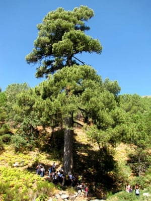 Black pine (Pinus nigra), over 350 years old, La Adrada (Ávila), Spain