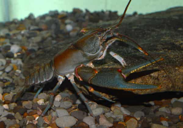 The Big Sandy crayfish.