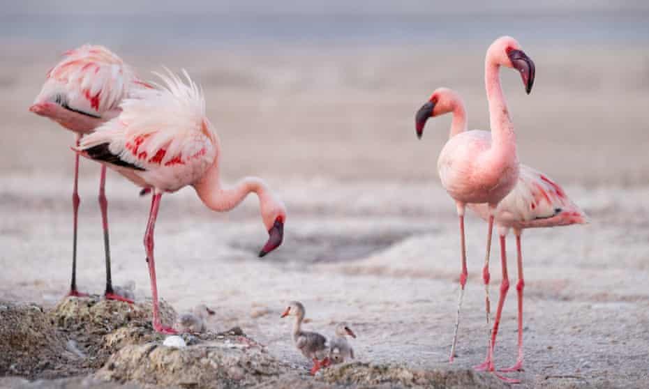 Flamingos nurture their chicks on Lake Natron, Tanzania.