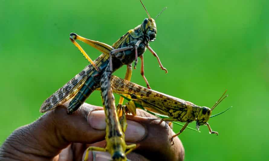 Pakistan locusts