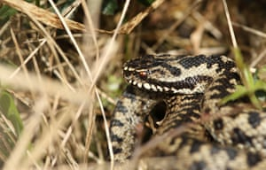 An adder basking in the sun