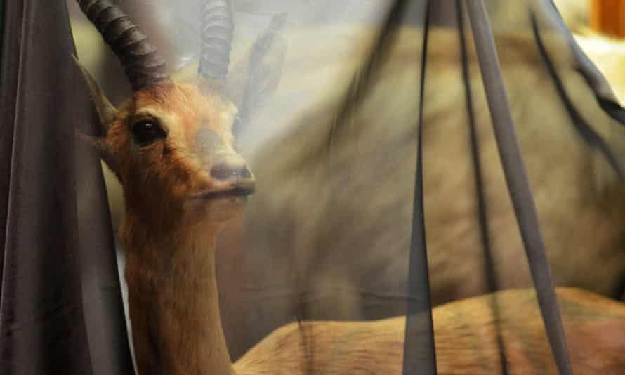 Mountain gazelle.