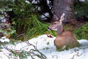 Female deer sitting in snow, Mount Rainier, Washington State, US