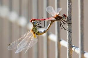 Dragonflies at a water reservoir in Mishmar HaSharon north of Tel Aviv, Israel