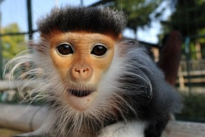 A red-shanked douc langur at Chleby zoo