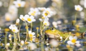 Riveting: a frog among the delicate flowers of Ranunculus aquatilis.