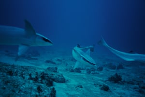 Remora fish in the open sea. The Mexican government has proposed to create a reserve along the entire length of the Mexican Caribbean coast (off the shores of Quintana Roo state)
