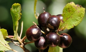 Sloes, the fruit of the blackthorn, are drupes.