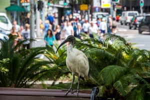 An ibis stands proudly on a park bench, its feathers grubby, as throngs of people behind it seek to see something more beautiful