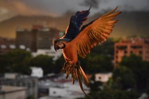 A macaw seeking food about to land on an antenna in Caracas, Venezuela