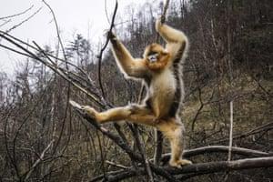 Golden snub-nosed monkeys in Shennongjia, Hubei province, China