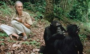 Jane Goodall studies chimpanzees in Tanzania