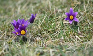 A lack of suitable grazing regimes to maintain short grassland turf has led to a 50% decline in the number of sites suitable for the stunning pasque flower since the mid-20th century