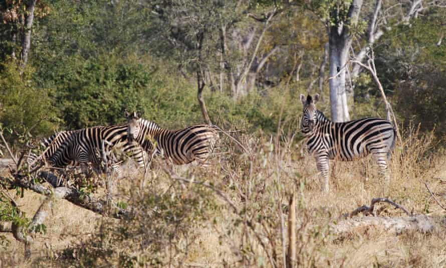 Zebras at Sango Wildlife Conservancy.