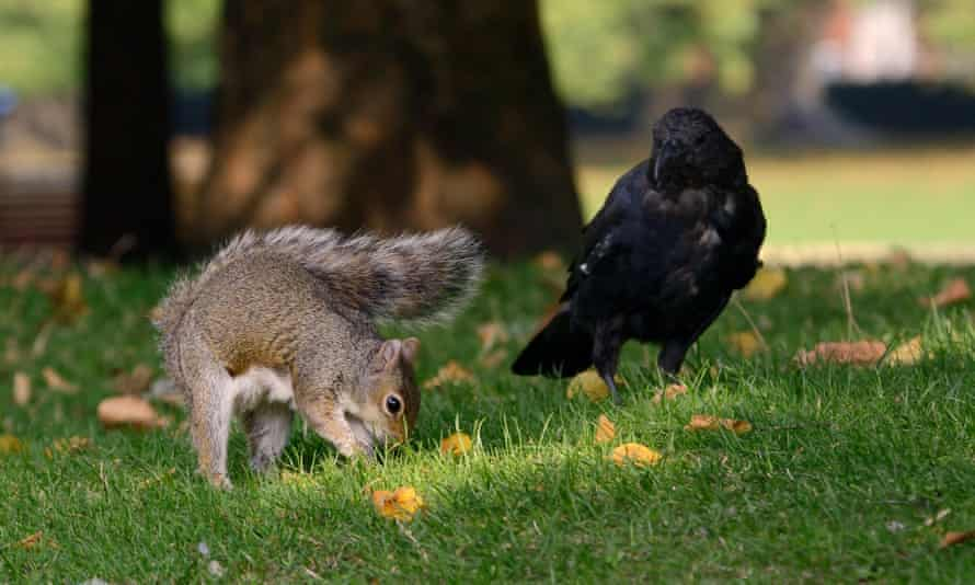 A grey squirrel burying a peanut while being watched by a carrion crow who steals the food later