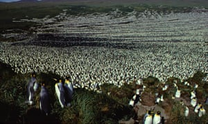 A huge colony of king penguins on the Île aux Cochons in 1982