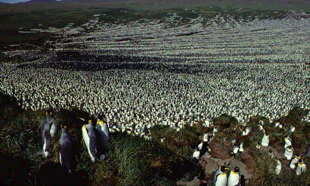 Thuộc địa của chim cánh cụt vua lớn nhất thế giới đã giảm mạnh đến 90%