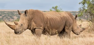 Two rhinos organise themselves back-to-back in defence formation in Laikipia, Kenya.