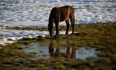 As Brumby searches for food on the high plains above Kiandra beside the Snowy Mountains Highway. Victoria's supreme court has ruled a brumby cull can go ahead in alpine national parks
