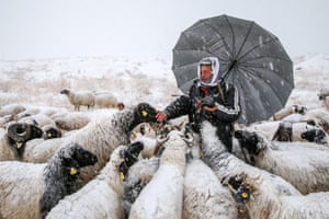 Van, Turkey. A breeder attends to his sheep after heavy snowfall