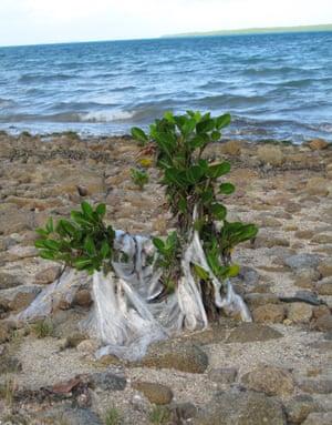 Plastic draping plants in Torres Strait