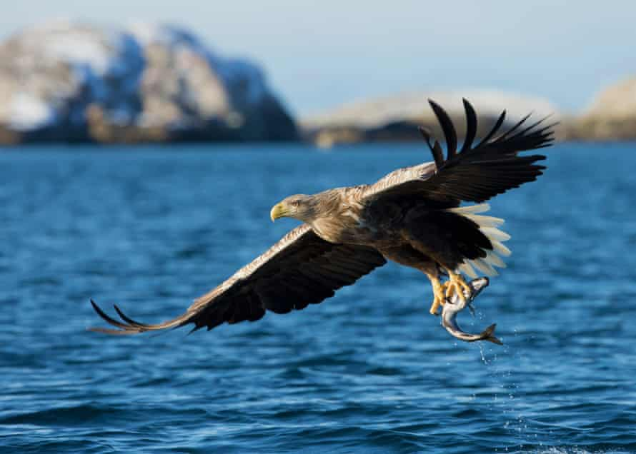 A white-tailed sea eagle (Haliaeetus albicilla) in flight with a catch (coal fish) in Norway. This picture of White-tailed Eagle with a catch was taken in Norway from a boat.