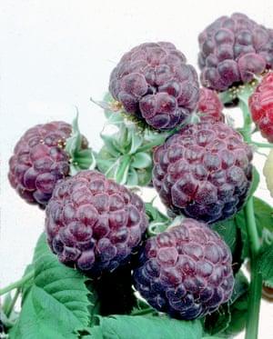 Hybrid purple raspberries of the Glen Coe variety. Crispr may make such specimens more common.