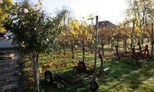 Vineyard at Belgian wine estate Aldeneyck, Maaseik, Belgium