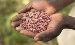 Watermelon seeds are readied for planting as part of an aid project in Rwanda.
