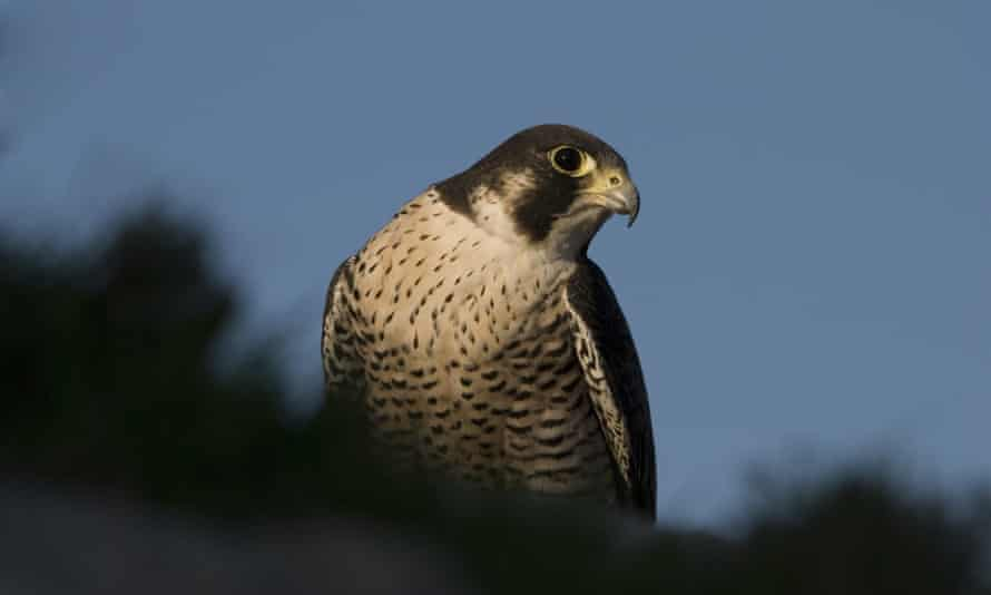 "The peregrine ""Maltese"" falcon – as many as three pairs are known to be breeding on the island"